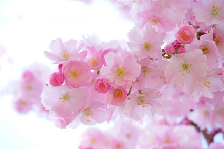 pink, cherry blossoms, flowers